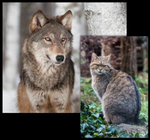 Wolf+Wildkatze